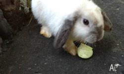 Male mini lop, has been family pet. Loves a cuddle!