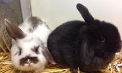 Male Mini Lop Rabbits Aged from 7 weeks of age The