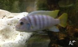 Male Red Top Zebra Cichlid 13cm Firm price $15 Pick up