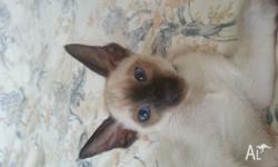 Hi I have a one year old male Siamese and a three month
