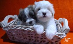 maltese for sale in Victoria Classifieds & Buy and Sell in