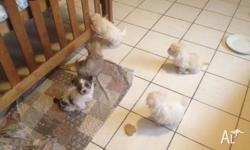 I have 5 Maltese Shiutzu puppies for sale, 1 female and