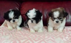 Gorgeous fluffy balls 2 female and 1 male Maltese