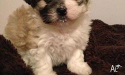 MALTESE X POMERANIAN PUP FOR SALE VACCINATED