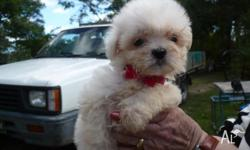 I have this Beautiful Baby Male Maltese X Shih-Tzu for