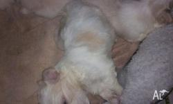 Maltese Shih Tzu Puppy For Sale For Sale In Scarborough Western