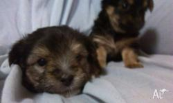 maltese shitzu x silky terrier puppies , vac