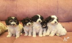 I have 4 male Maltese X ToypAustralialisted puppies