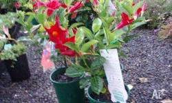 Mandevilla red and pink flowering varieties available