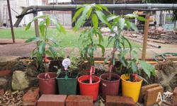 Mango trees in pots (4 plants). Size from 1 to 2 feet.
