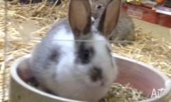 WE HAVE A FEW BABY RABBITS AVAILABLE 3 FLEMISH MALES 1