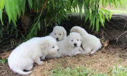We have 4 Maremma puppies for sale 2 boys and 2 girls