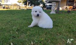 "The real pure breed Maremma""s. Great temperaments and"