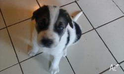 Black and white male mastiff x ridgeback puppy. Very