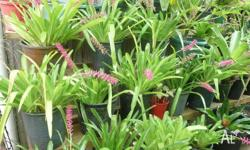 we have a number of matchstick bromeliads that have