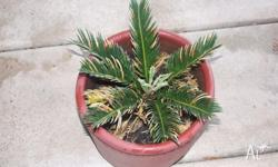 5 x Cycads in terracotta pots @ $ 60 each or lot for