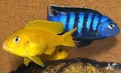 Mature Saulosi Cichlid pairs for sale. a dwarf mbuna