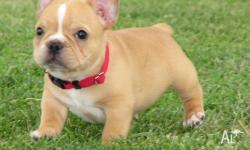 Milkish French bulldog Puppies For Sale