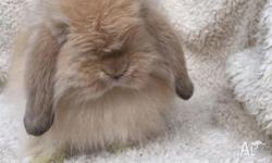 I have 12weeks old Orenge cashmere mini lop buck for