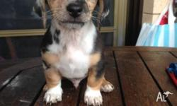 3x male dachshund puppies all ready to go 2 dapples and