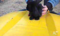 I have 6 mini dwarf lops for sale black,grey or