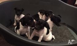 We have 1 female puppy remaining for sale $500 neg -
