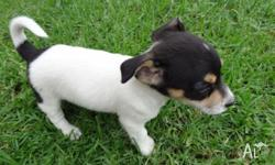 Mini Fox Terrier puppies, they are 7 weeks old They