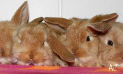 Cute as a button baby bunnies for sale in 2 to 3 weeks
