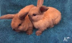 Two gorgeous and affectionate baby Mini lop rabbits for