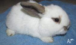 Mini Lop Male Baby Bunny. At this stage we believe it