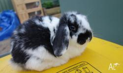 MINI LOP Like my facebook page to keep updated on