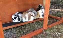 5 assorted beautiful coloured, as yet unsexed mini lop