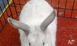 Male Mini lop bunny for sale! He is 3 months old. His