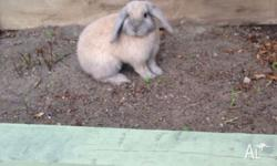 Hi I have a 12/13 wk old mini lop girl Shes beautiful