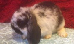 i have a mini lop black butterfly female she is 9 weeks