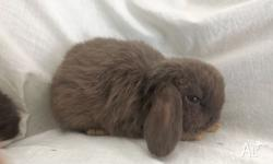 FOR SALE: Located in Kyogle, these two mini lop ear