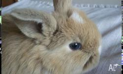 I have 5 vienna marked mini lop kits taking deposits