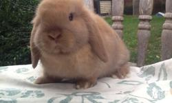 I have a chocolate torte mini lop buck for sale. He is