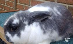 Male Mini lop bunny for sale! He is 18 months old. He