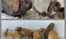 Mini lop rabbit babies ready to go to new homes 15th