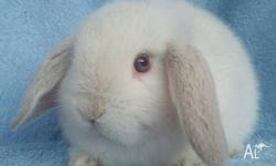 Abbey Green Rabbit Stud are proud to offer quality,