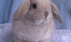 Abbey Green Rabbit Stud are proud to offer a quality,