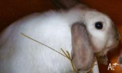 Mini lop earred Rabbit male about 6 months of age would