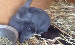 Up for sale are 7 week old mini lop Rabbits, they are