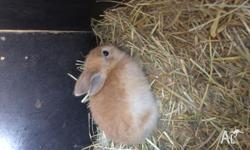 These lovely pure mini lops are 6 weeks old, ready for