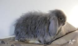 I have for sale two male mini lop rabbits, one is a