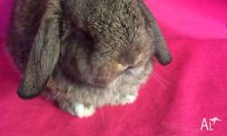 Mares Mini Lop Bunnies & Accessories have Quality
