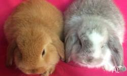 Mares Mini Lop Bunnies & Accessories Have Great Deals