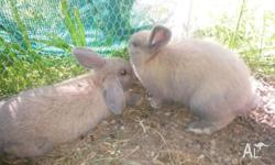 I have 2 beautiful mini lop cross bunnies for sale.
