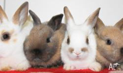 I have 7 mini lop x netherland dwarf baby bunnies for